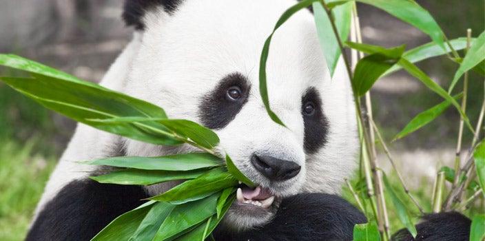 Pandas love bamboo and bamboo clothing.