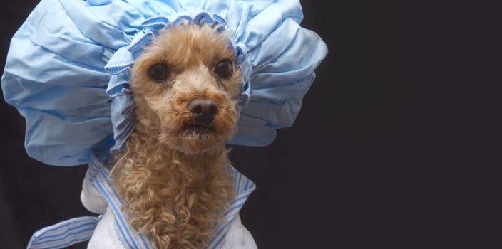Poodle dog in old fashioned sleep cap/shower cap and bathrobe on black background.