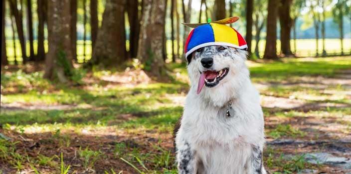 dog wearing propeller beanie