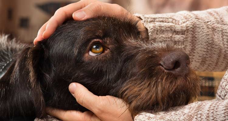 How Dogs can Help Cancer Patients - Scruffy Dog with Head on Lap